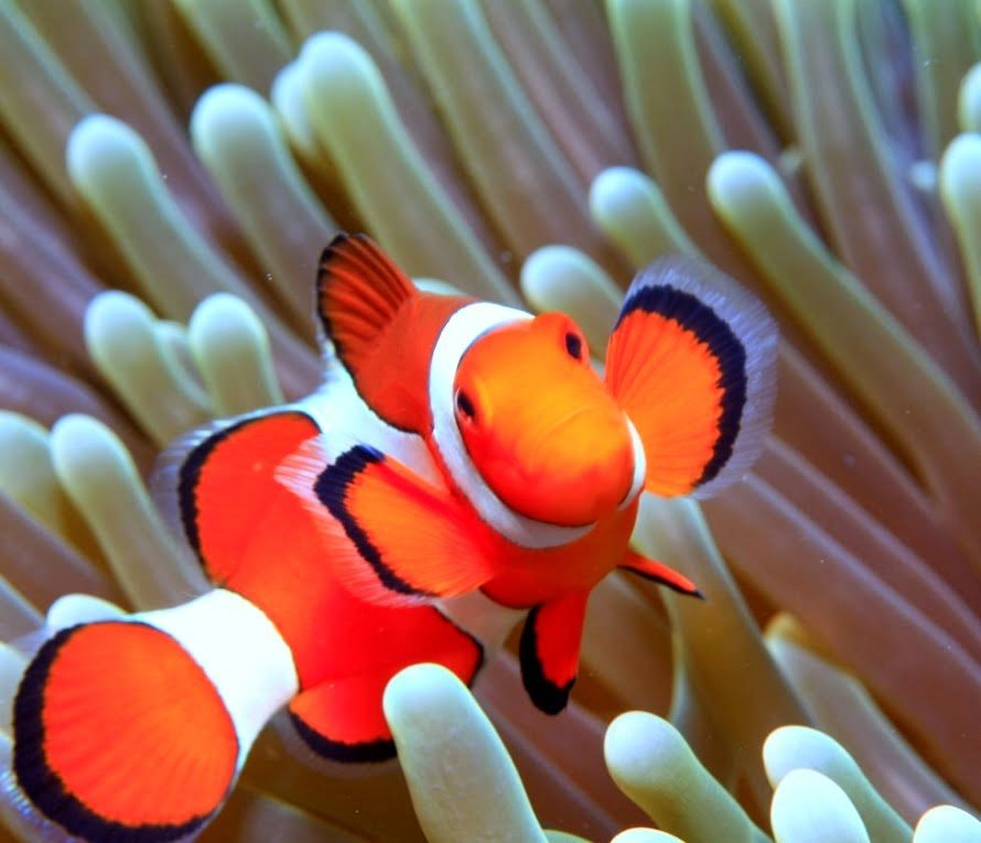 Desktop HD Wallpapers Downloads Clown Fish HD Wallpapers 890x765