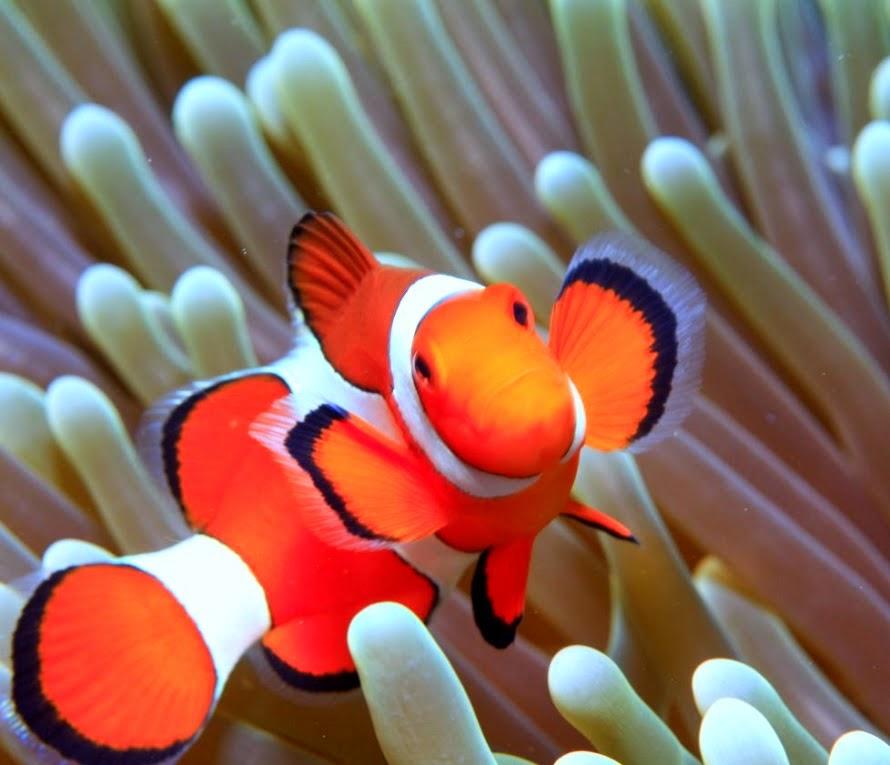 Desktop HD Wallpapers Downloads Clown Fish HD Wallpapers 890x765