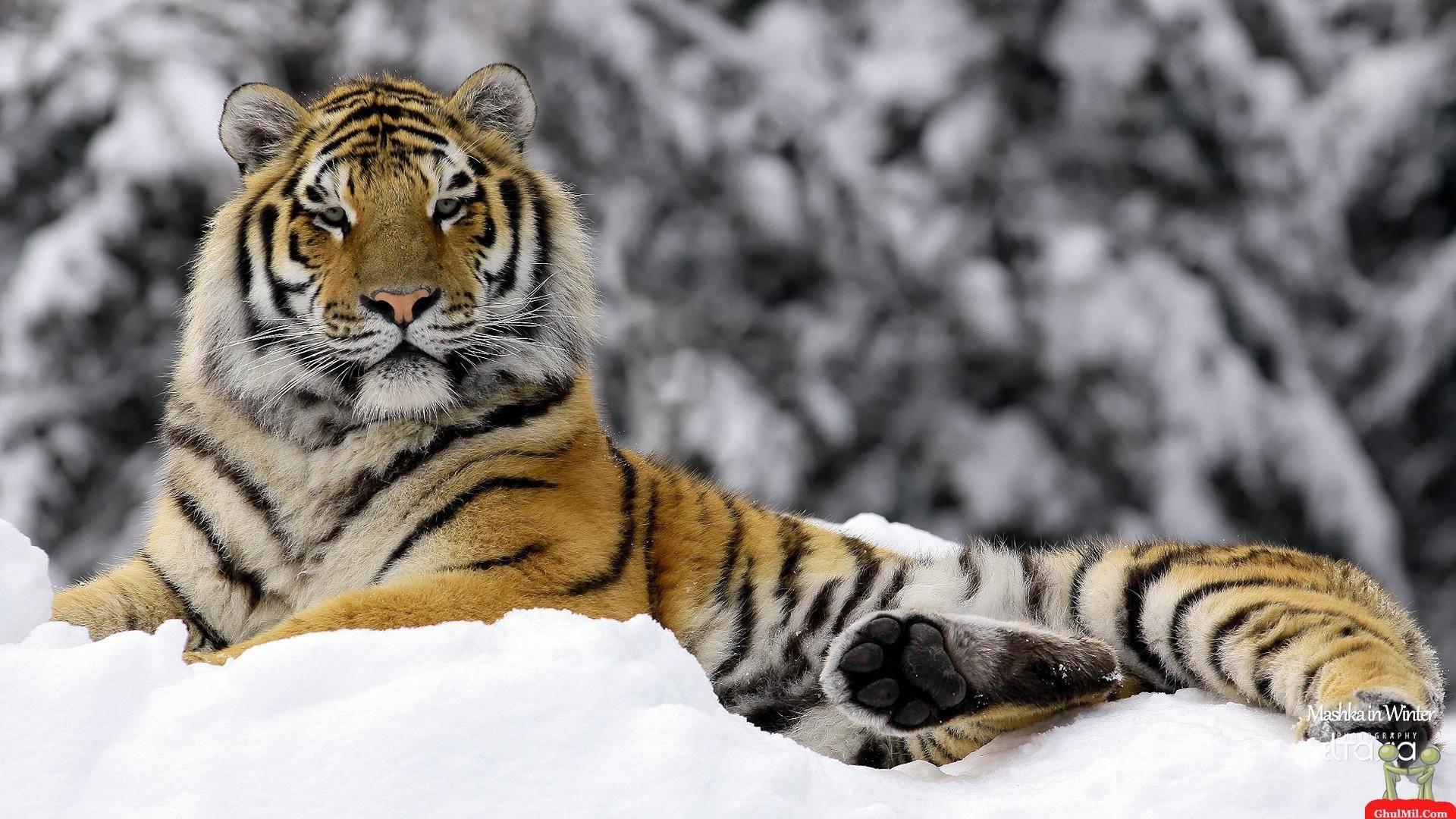 Siberian Tiger Wallpapers   Top Siberian Tiger Backgrounds 1920x1080