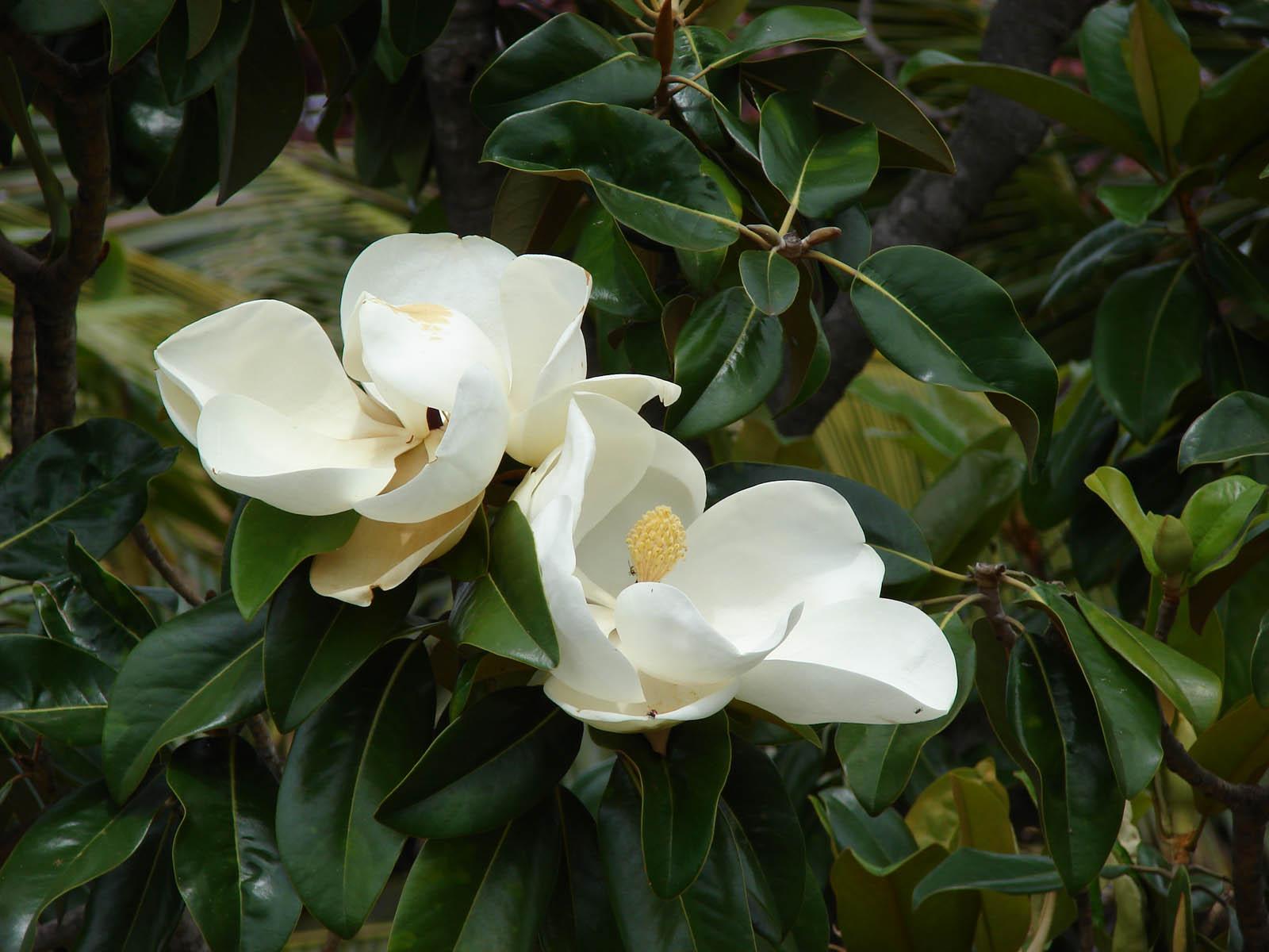 Комнатные цветы магнолия фото