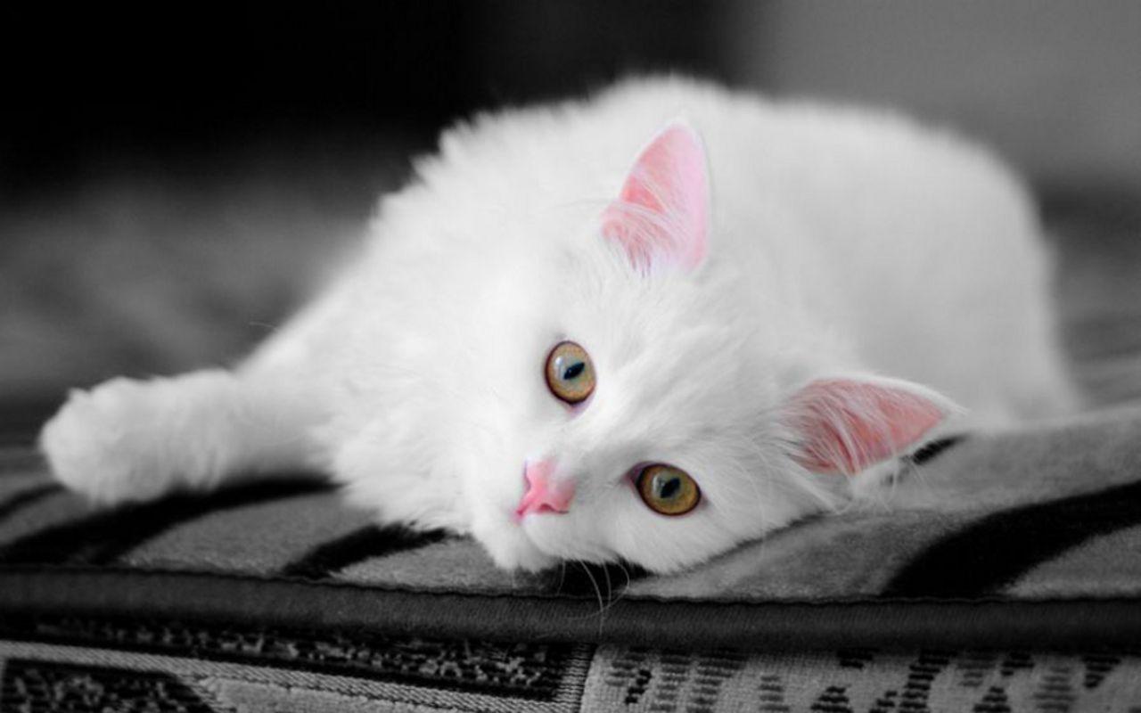 Beautiful Cat   Cats Wallpaper 16124046 1280x800