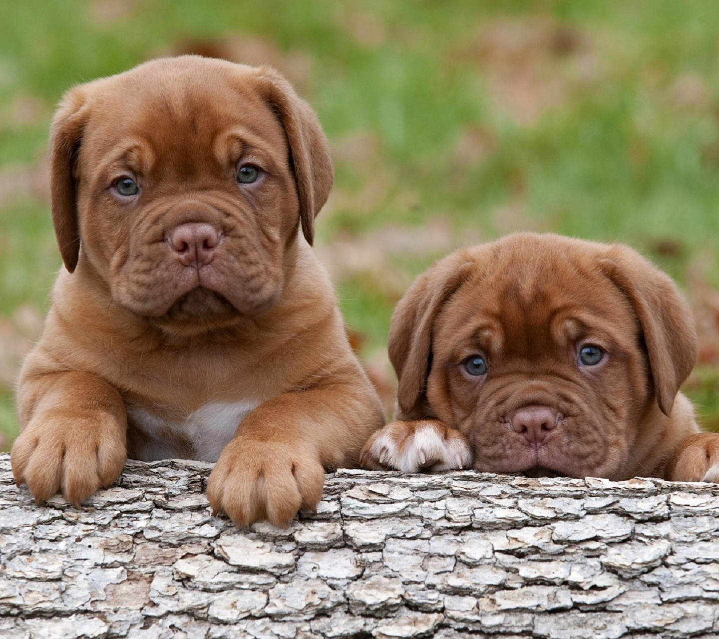 Free Puppy Wallpaper and Screensavers