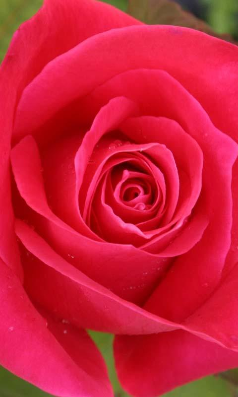 3D Love Rose Live Wallpaper   Android Apps on Google Play 480x800