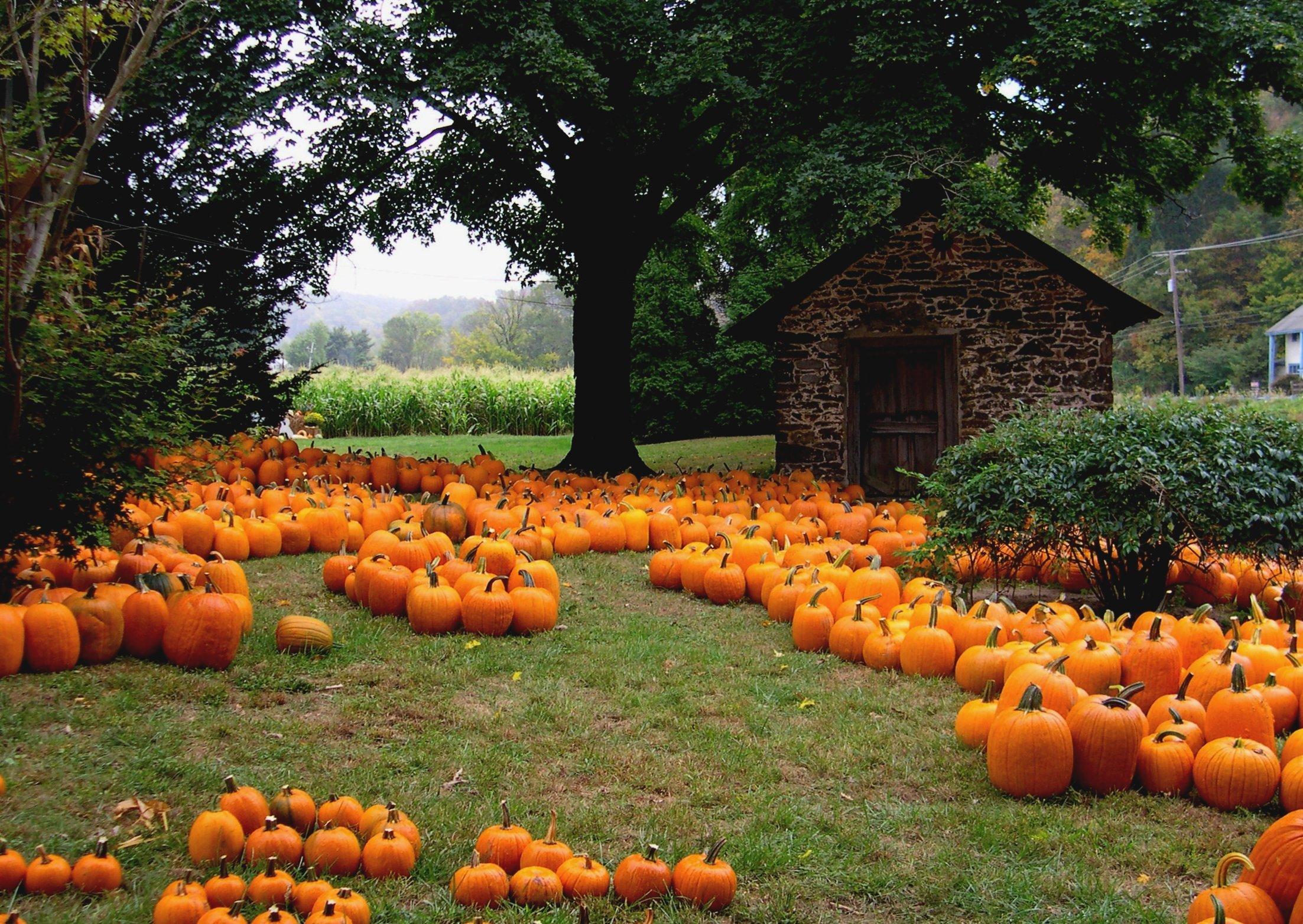 37 autumn pumpkin wallpaper on wallpapersafari - Fall wallpaper pumpkins ...