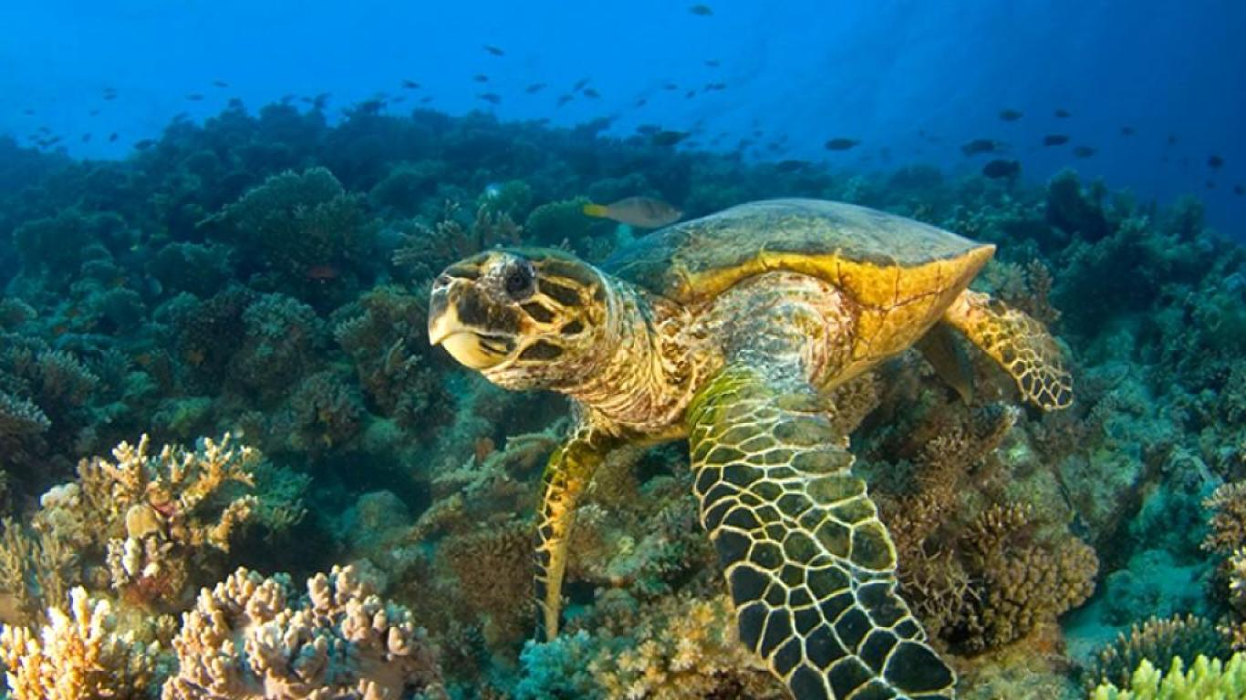 Pictures green sea turtle animal planet turtles hd animal wallpapers 1366x768