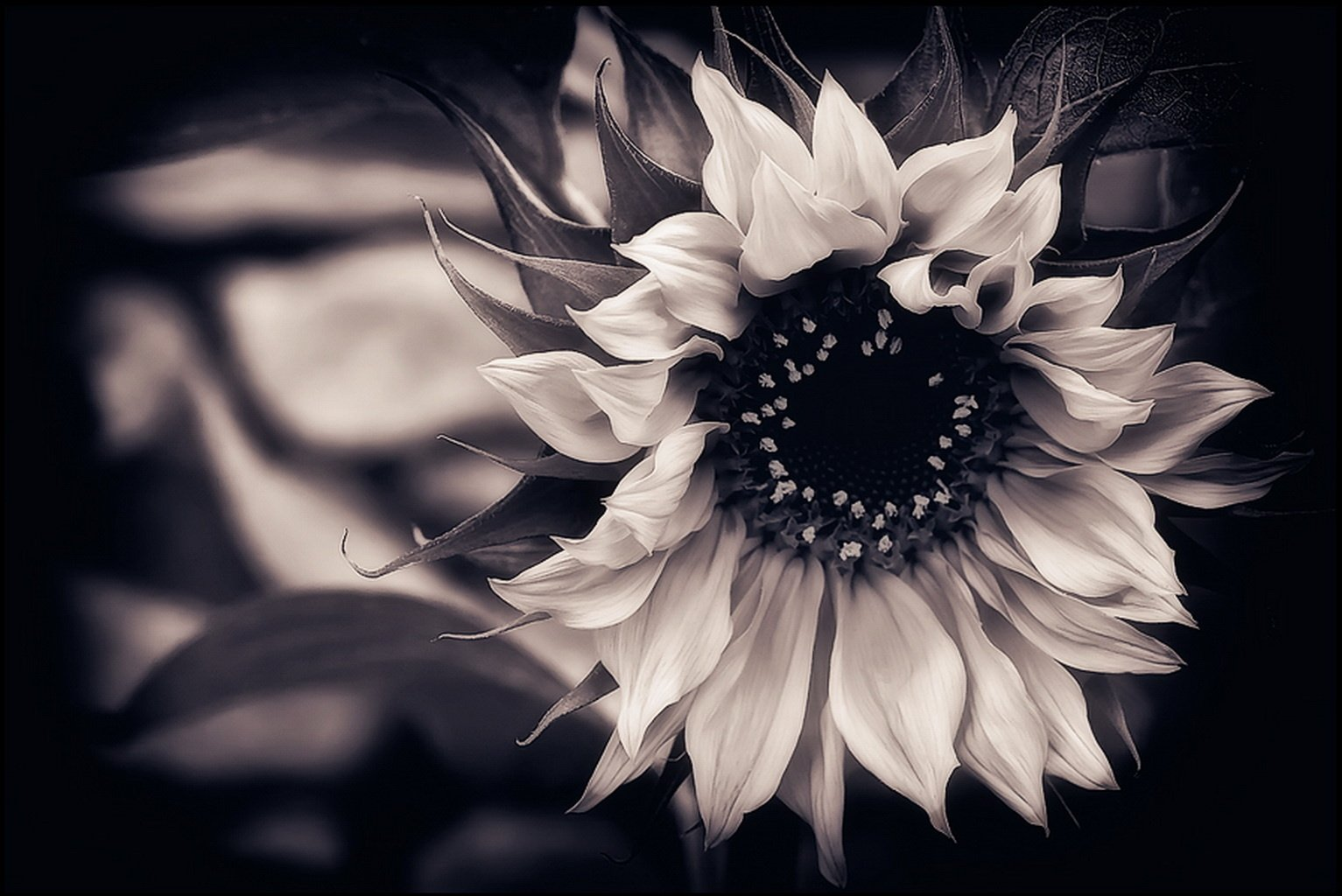 Wallpaper Download Wallpaper Sunflower Black And White Background 1533x1024