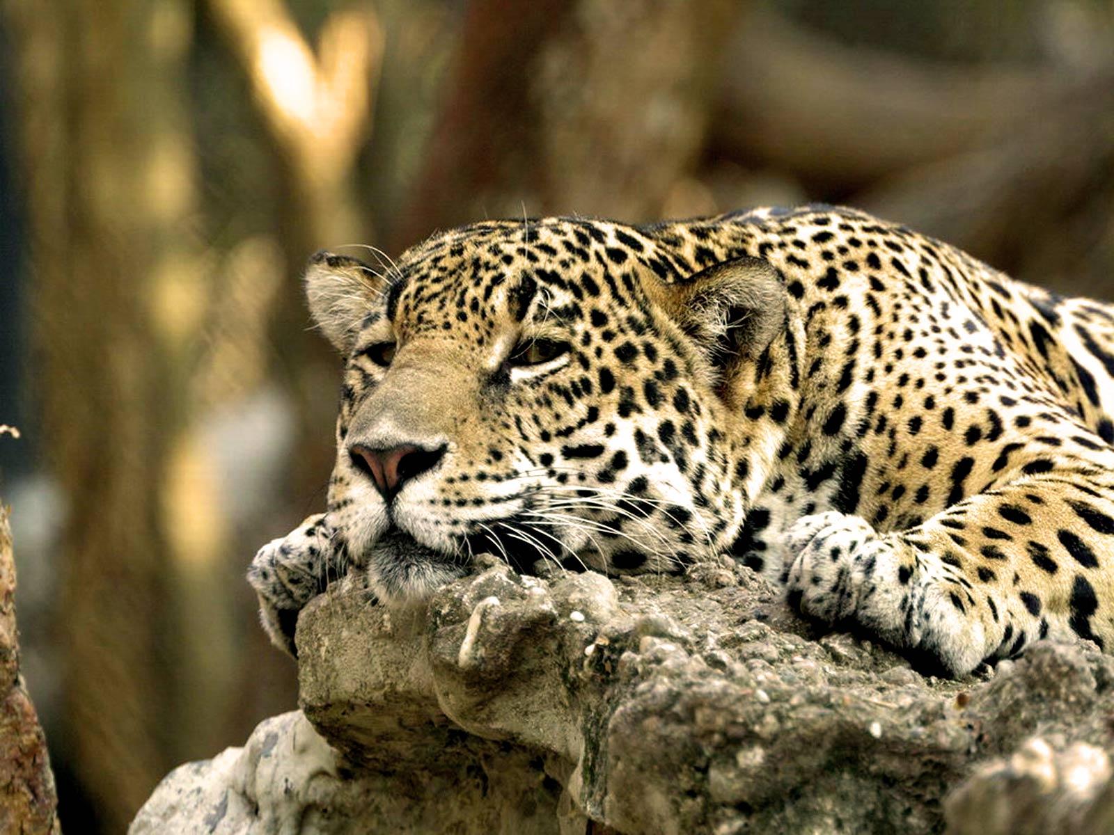 Leopard Africa HD Wallpaper High Quality WallpapersWallpaper 1600x1200