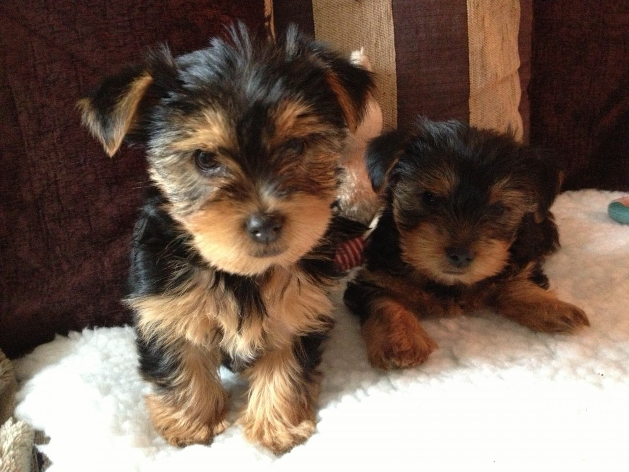 Free Yorkshire Terrier Dogs 24