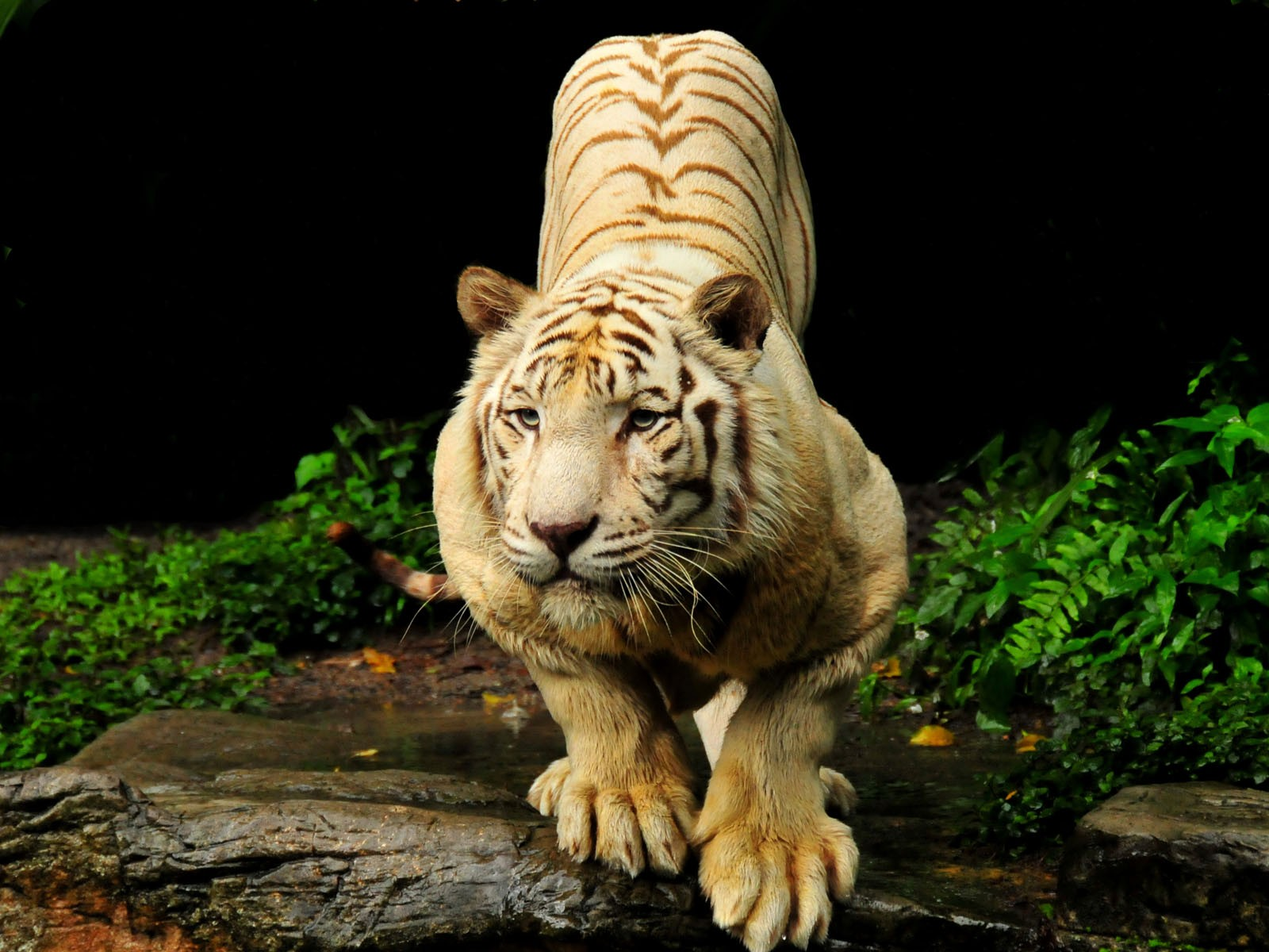 44  <b>Tiger Wallpapers</b>, HD <b>Tiger Wallpapers</b> and Photos | View HDQ ...
