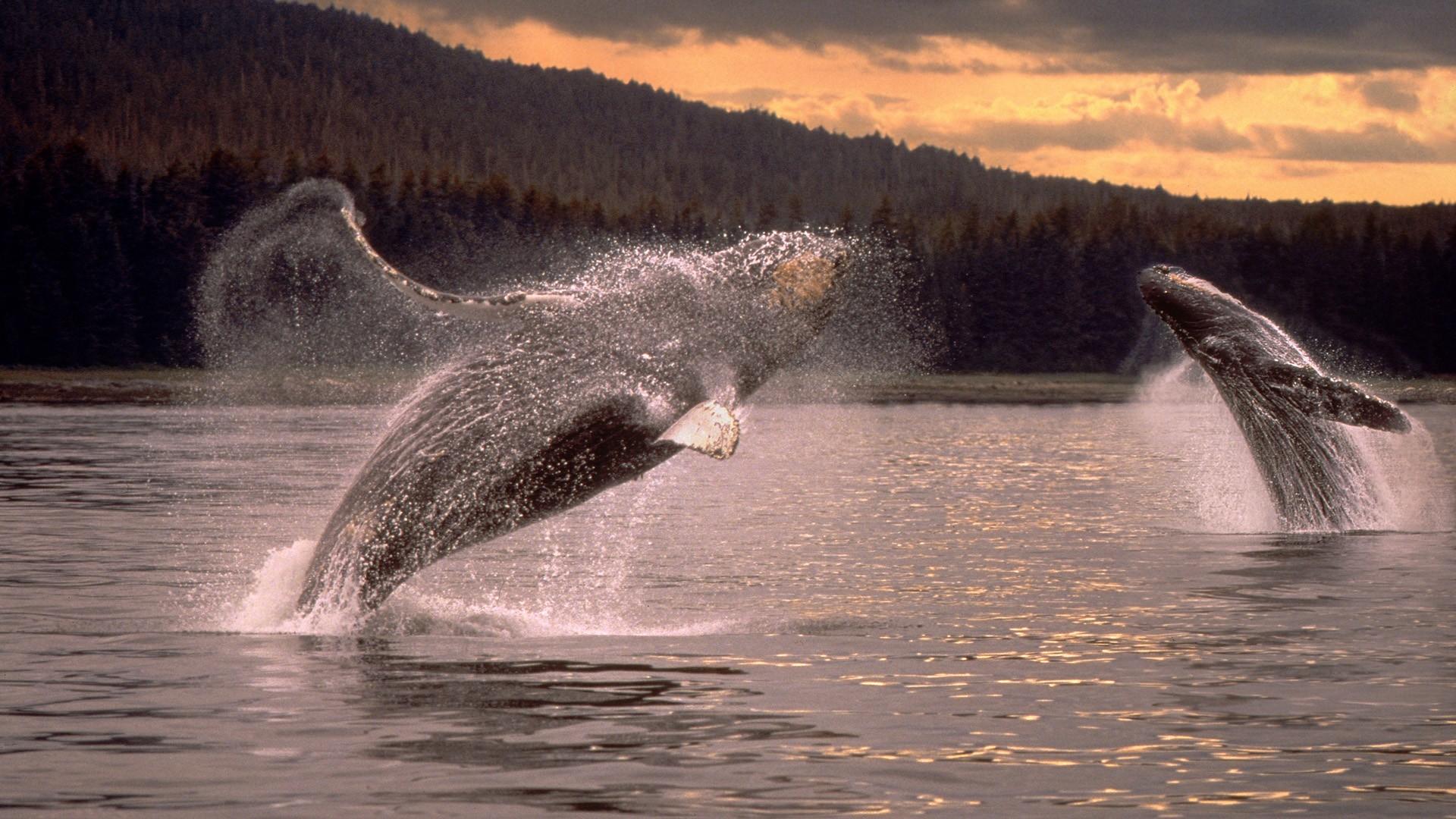 Whales humpback whales wallpaper 1920x1080 185411 1920x1080