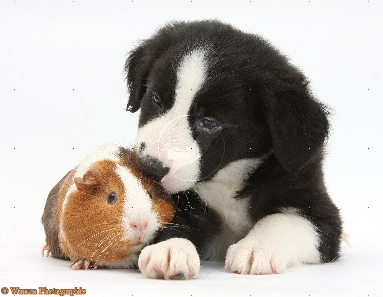 Wp32707 black and white border collie pup and tricolour guinea pig 1299x1009