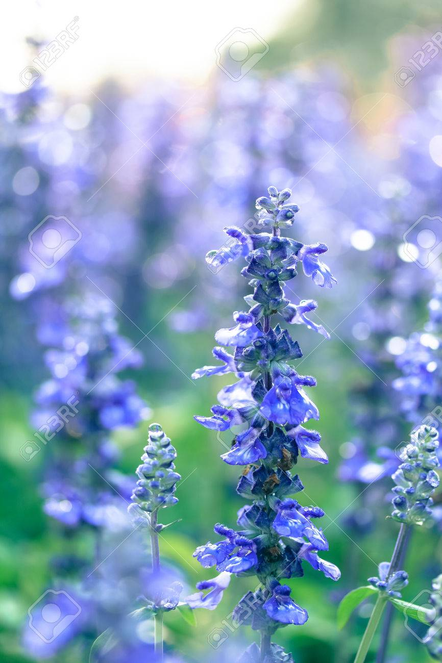 Blue Salvia Flower Background Stock Photo Picture And Royalty 866x1300