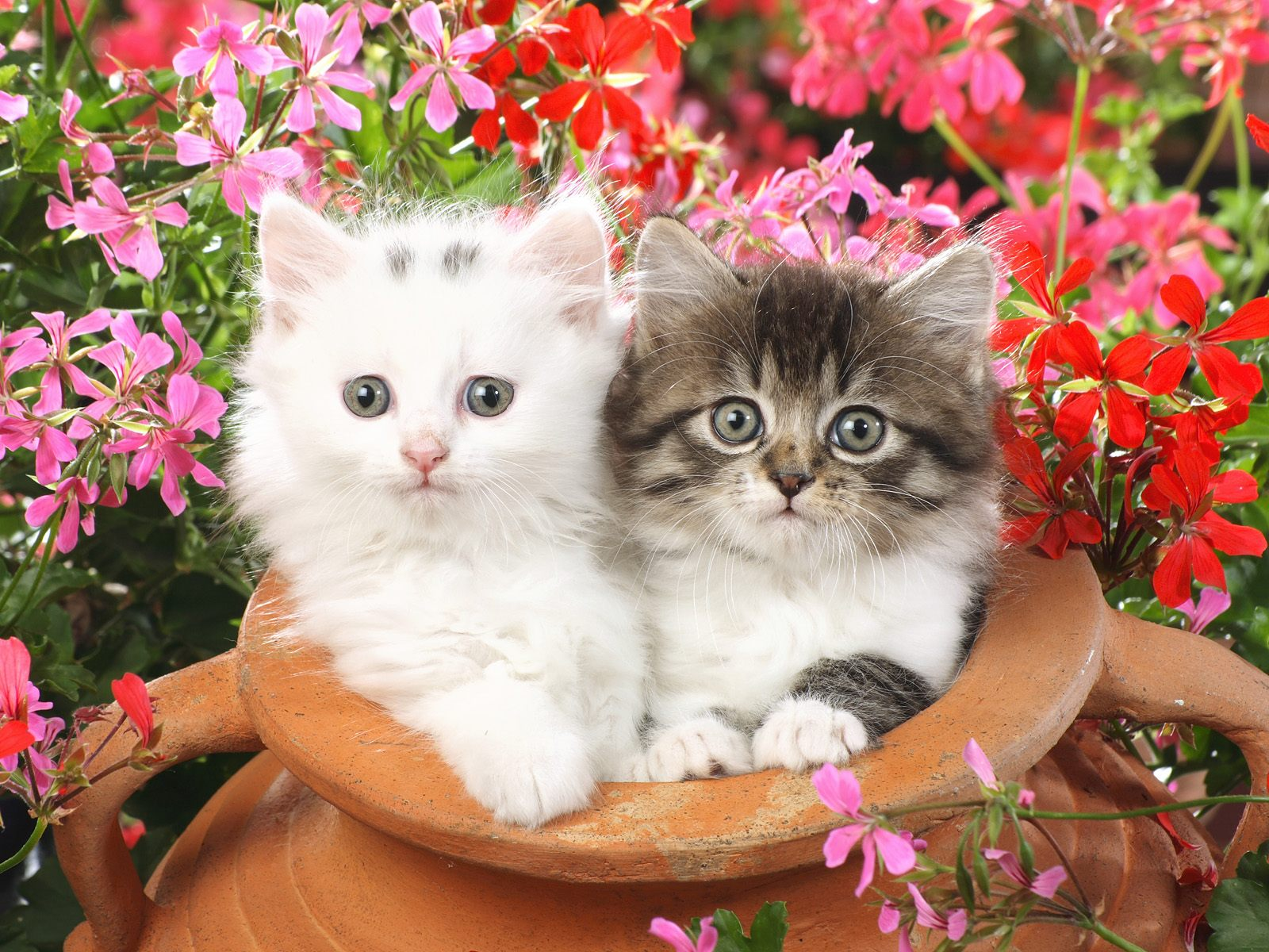 Beautiful Cats   Wallpaper 13485 1600x1200