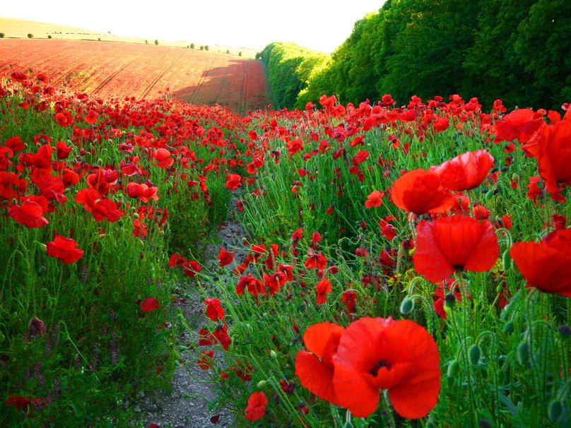 Field of red poppies wallpaper   ForWallpapercom 808x606