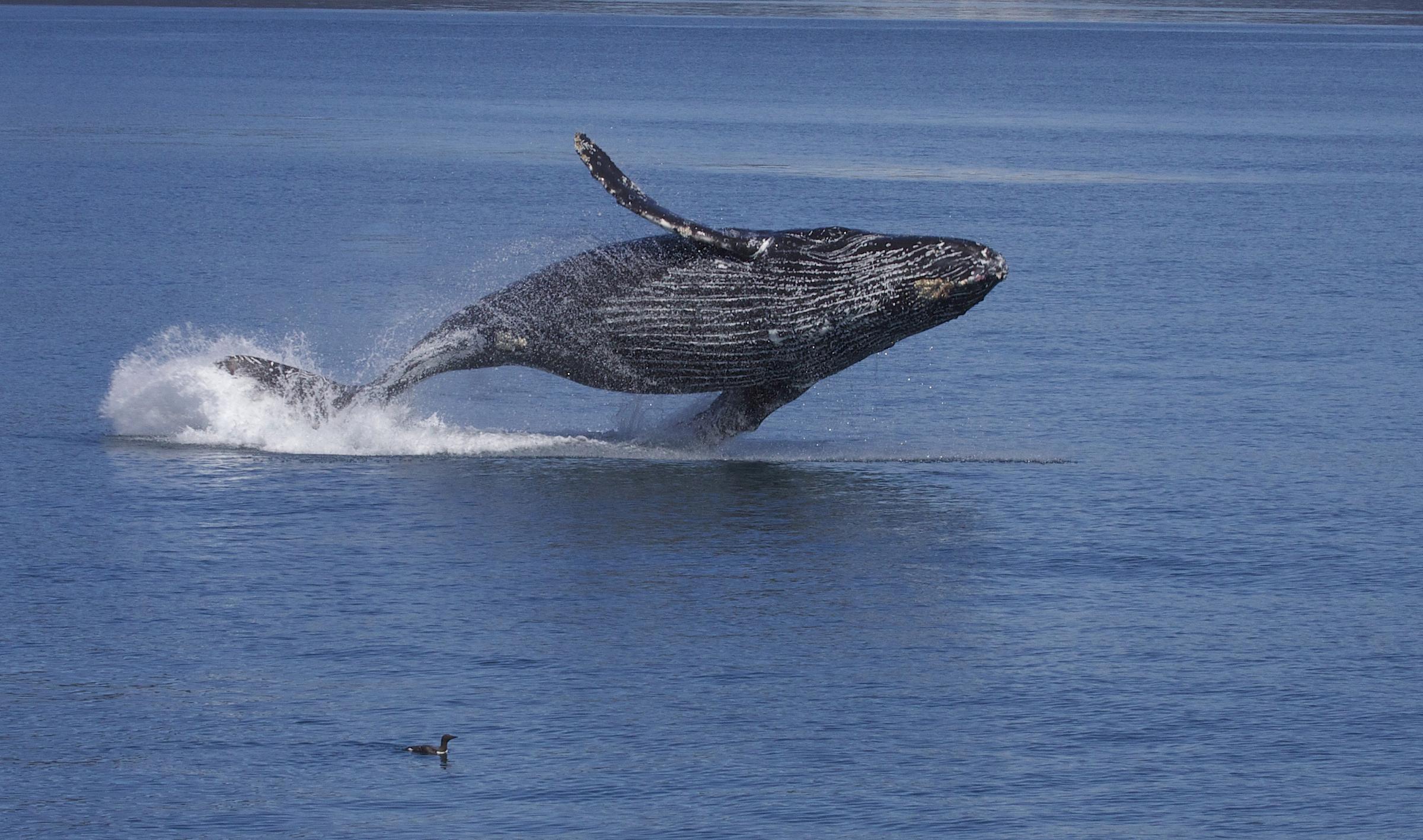 Humpback Whales HD Wallpaper Animals Wallpapers 2400x1417