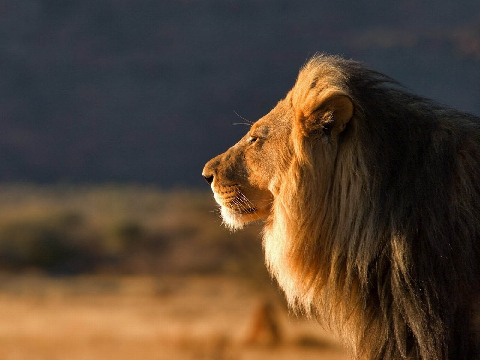 wallpapers Male Lion Wallpapers 1600x1200