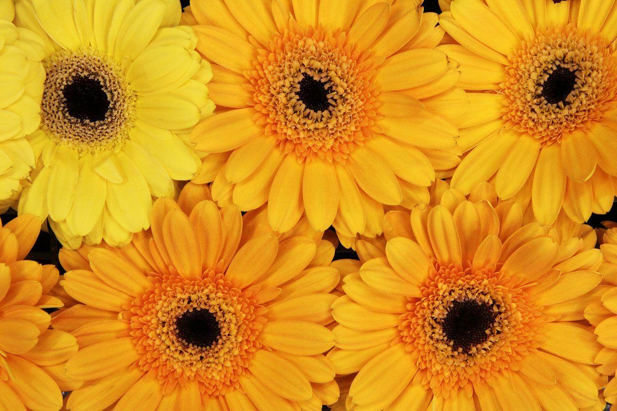 Gerbera Daisies Wallpapers 1270x846