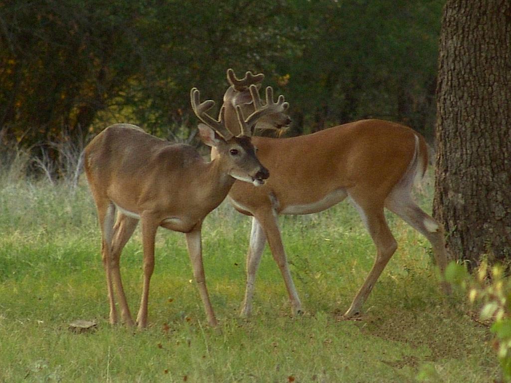 Hd Wallpapers Whitetail Deer Screensavers 2151 X 1633 2213 Kb 1025x768