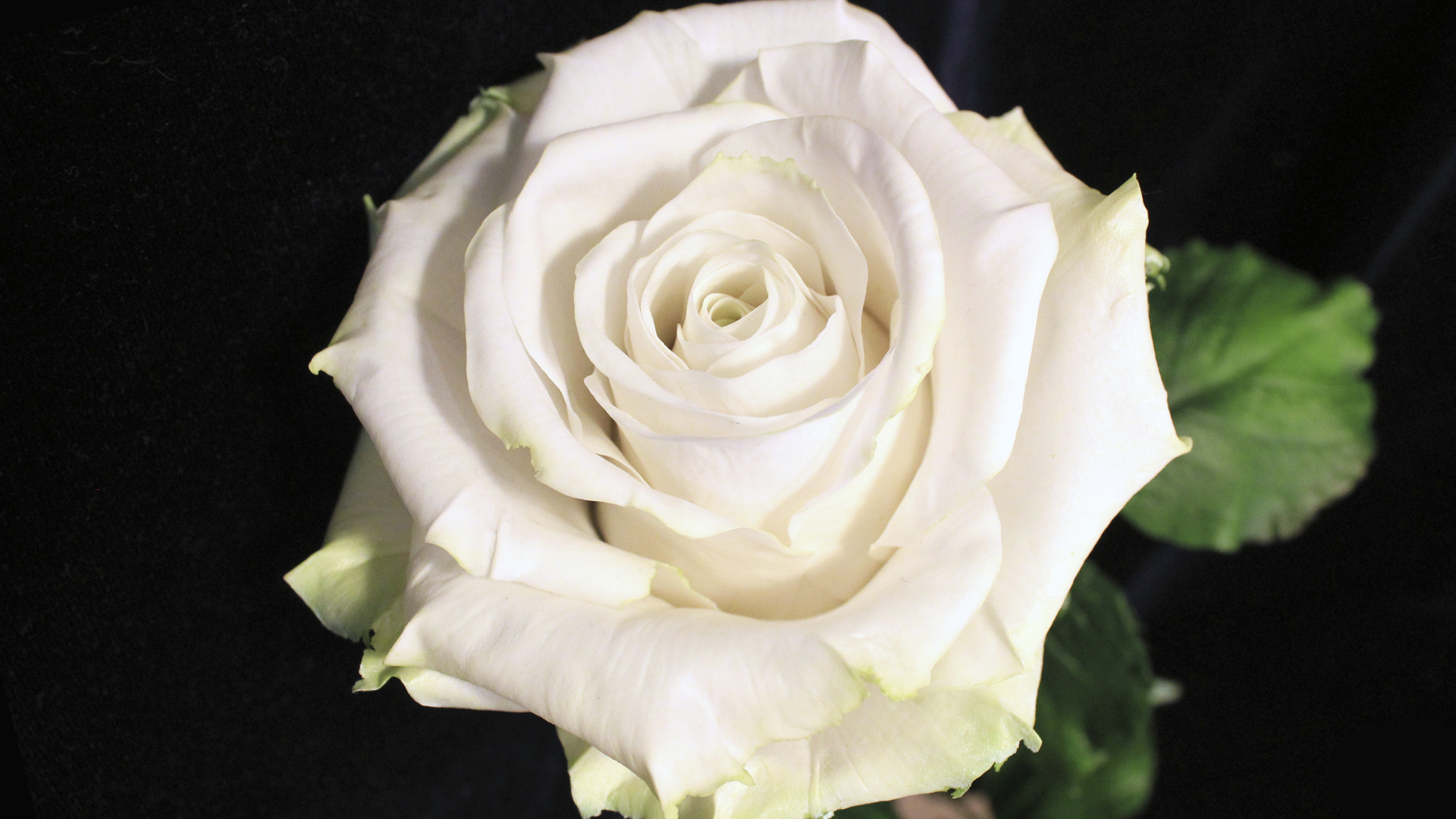 dongetrabi Black And White Pink Rose Images