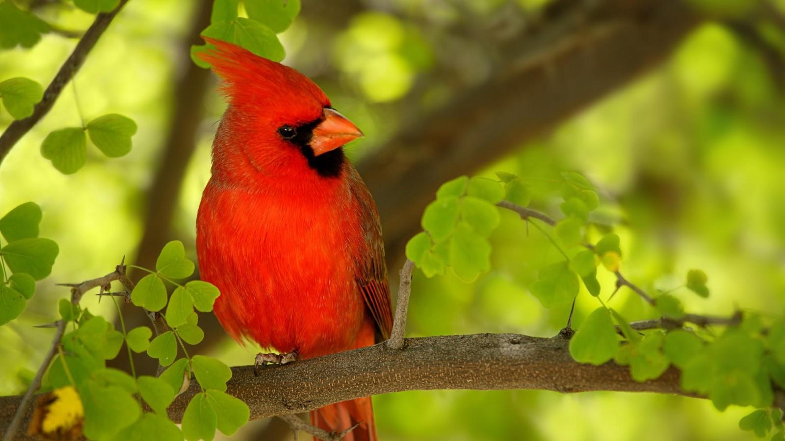 cardinalscardinal birdflying cardinalsweet cardinalsred cardinal 1600x900