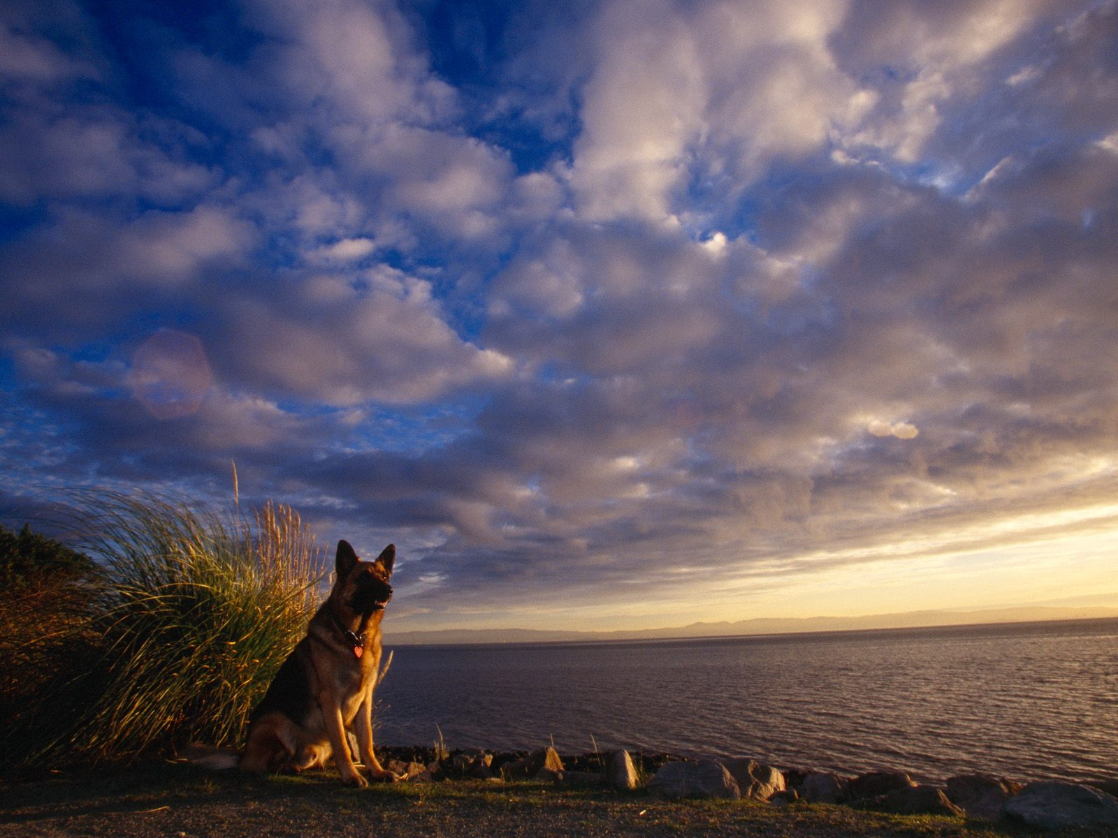 Download German Shepherd Wallpapers Pictures Photos and Backgrounds 1600x1200