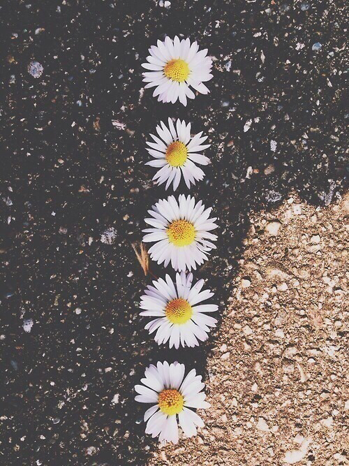 daisy flowers wallpaper Tumblr 500x667