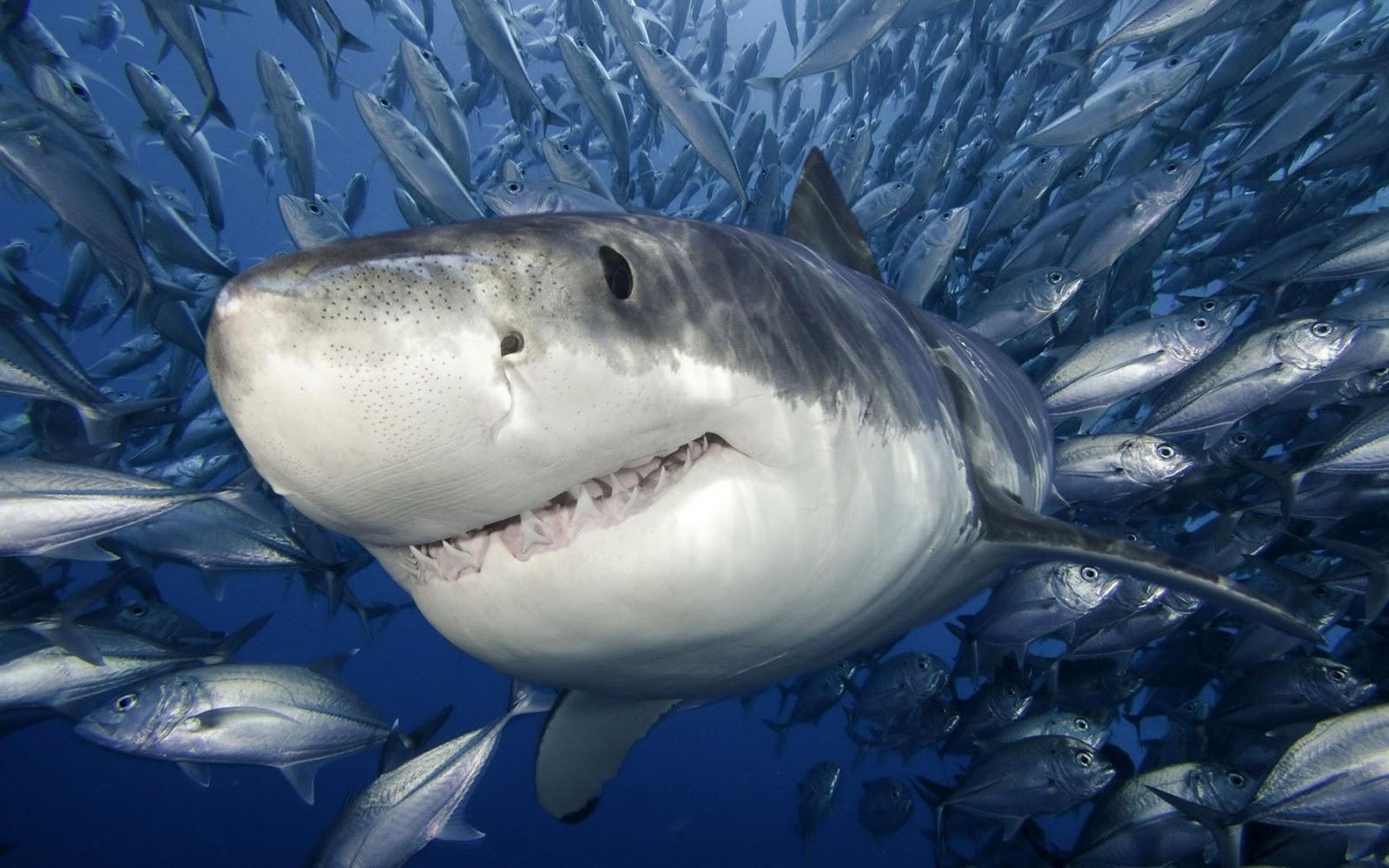49+ Shark Live Wallpaper Windows 8 on WallpaperSafari
