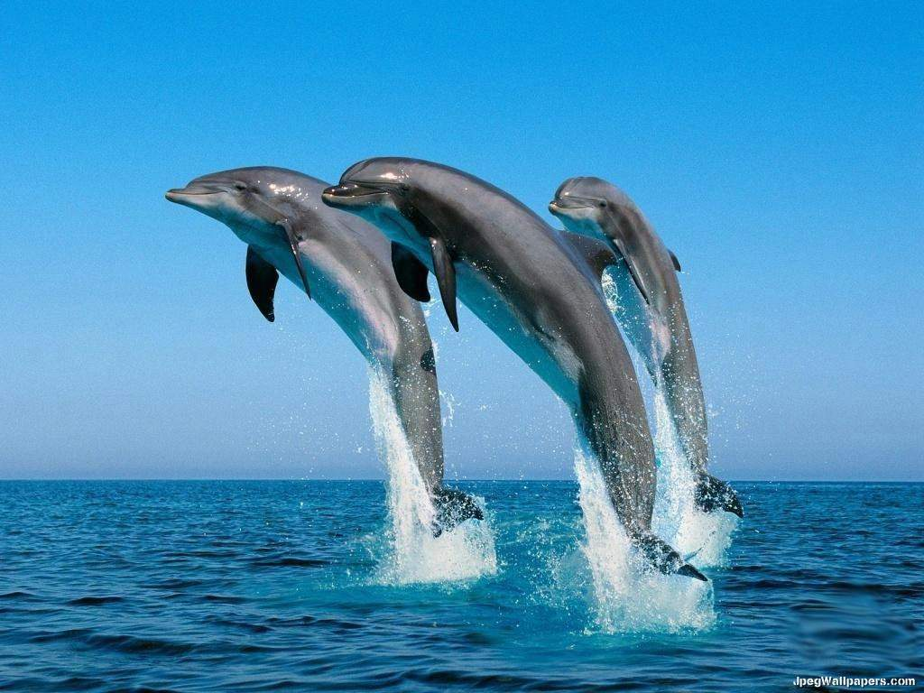 Dolphins wallpaper 1024x768