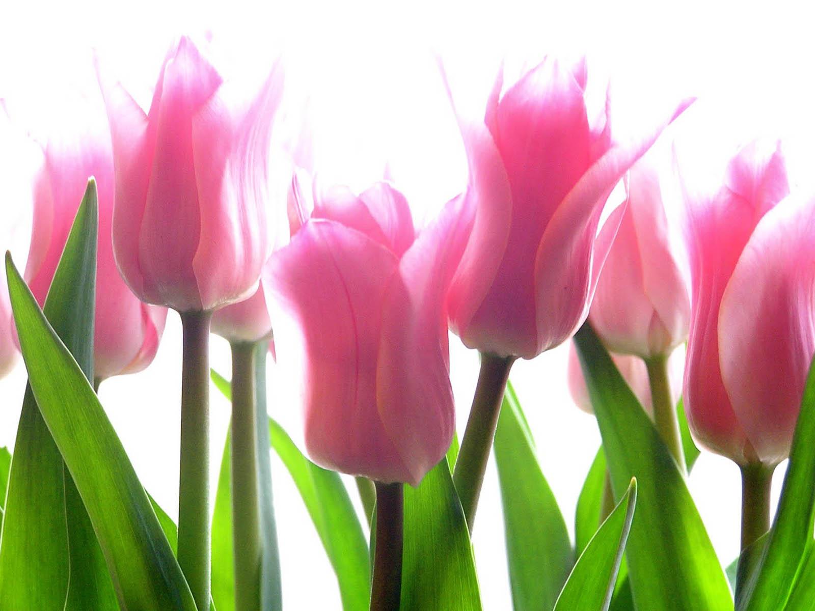 Free Tulip Wallpaper Screensavers Wallpapersafari