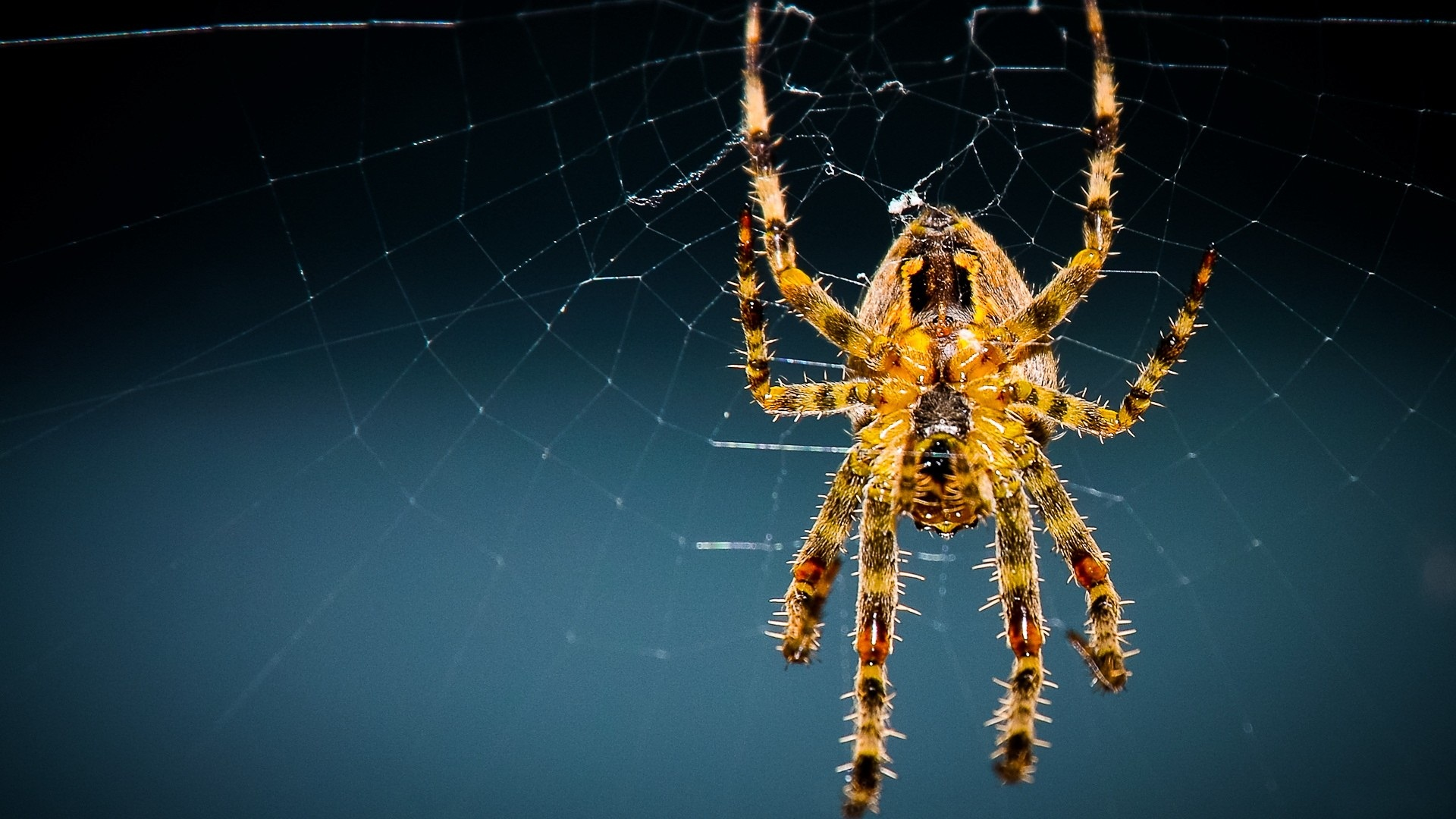 природа животные паук  № 2544270 без смс