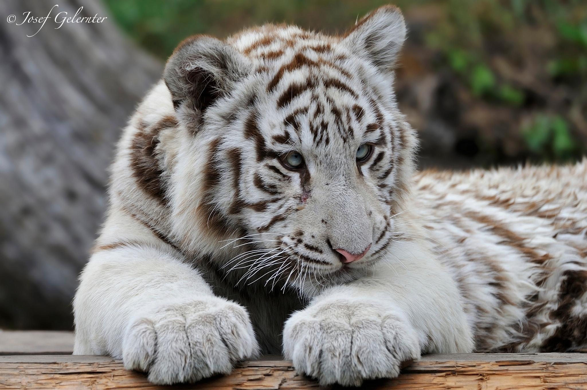 Wallpaper white tiger predator a tiger cub wallpapers cats 2048x1362