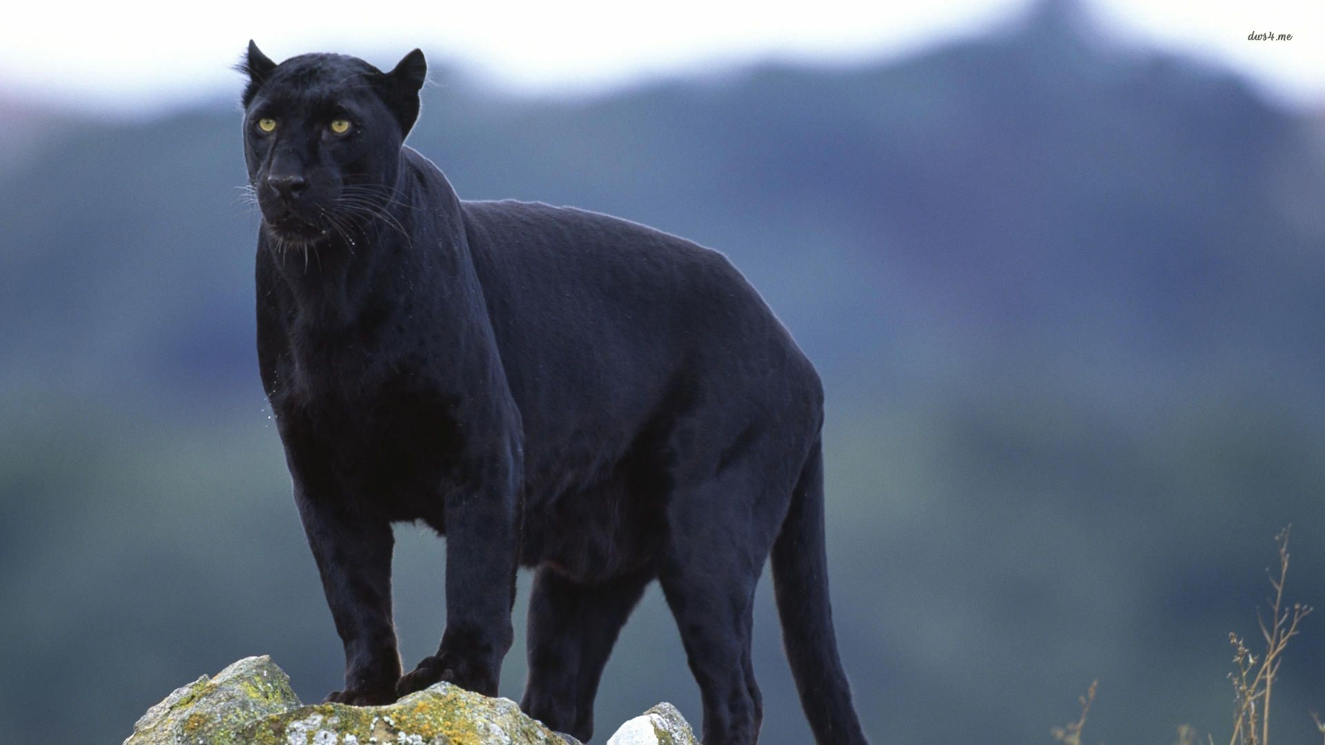 panther wallpapers 1 1920x1080