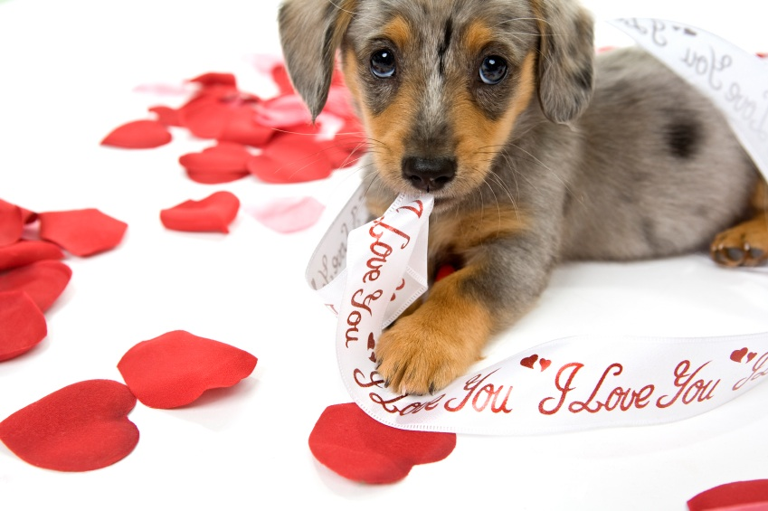88363e654416 Valentines Day Puppy Wallpapers Valentine Puppy Pictures 849x565