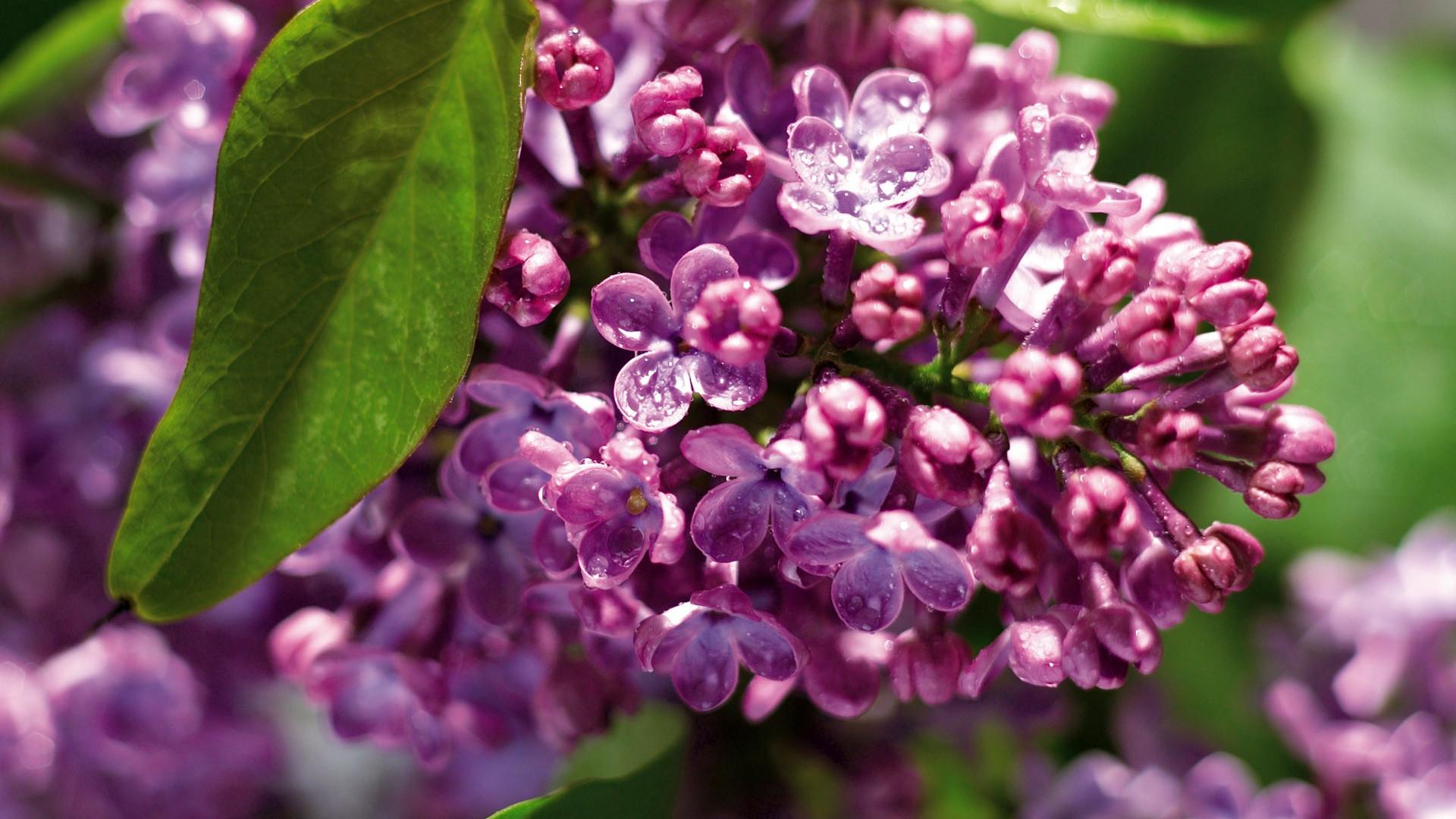 Lilac Background Wallpaper - WallpaperSafari