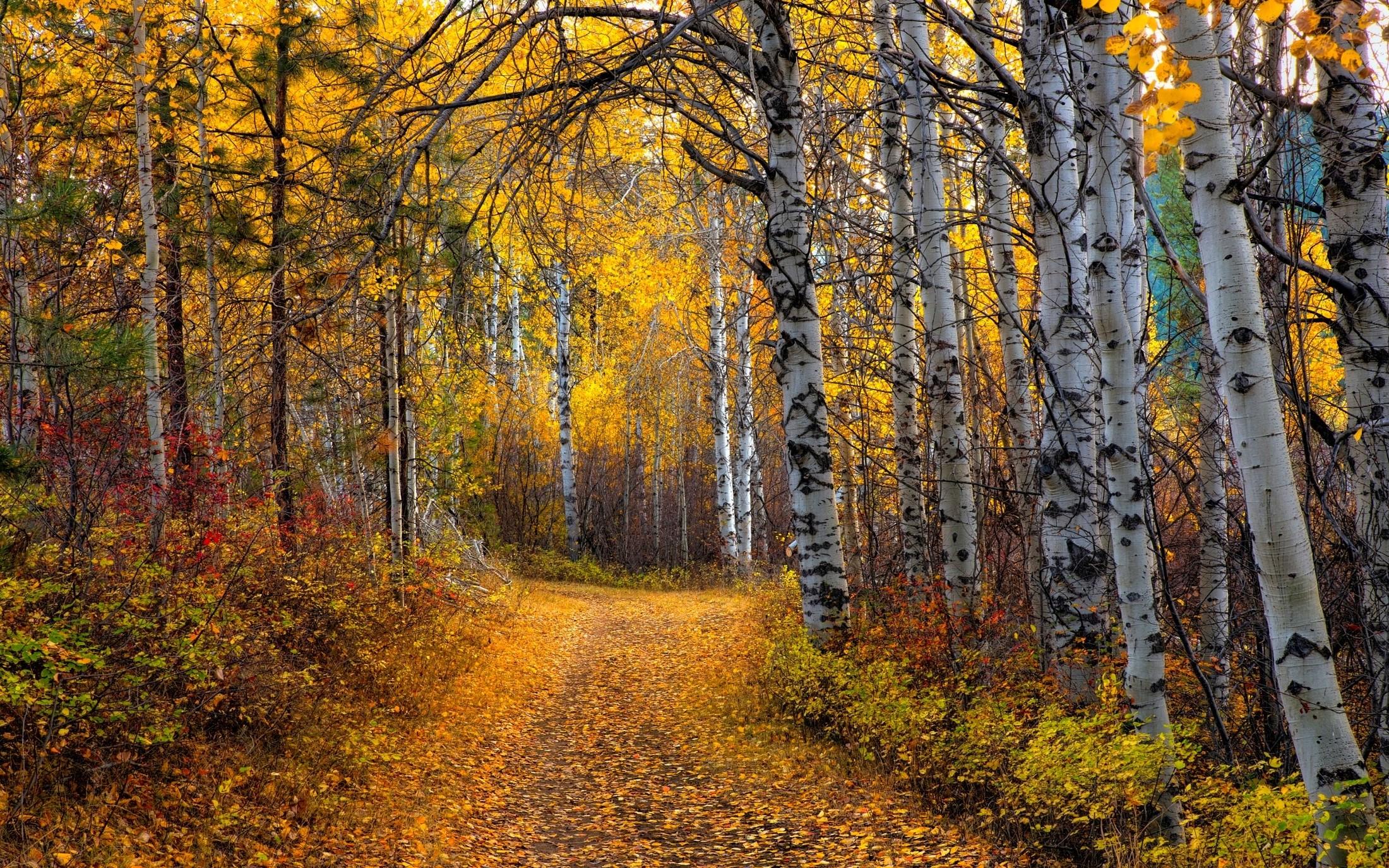 aspen trees wallpaper 2200x1375