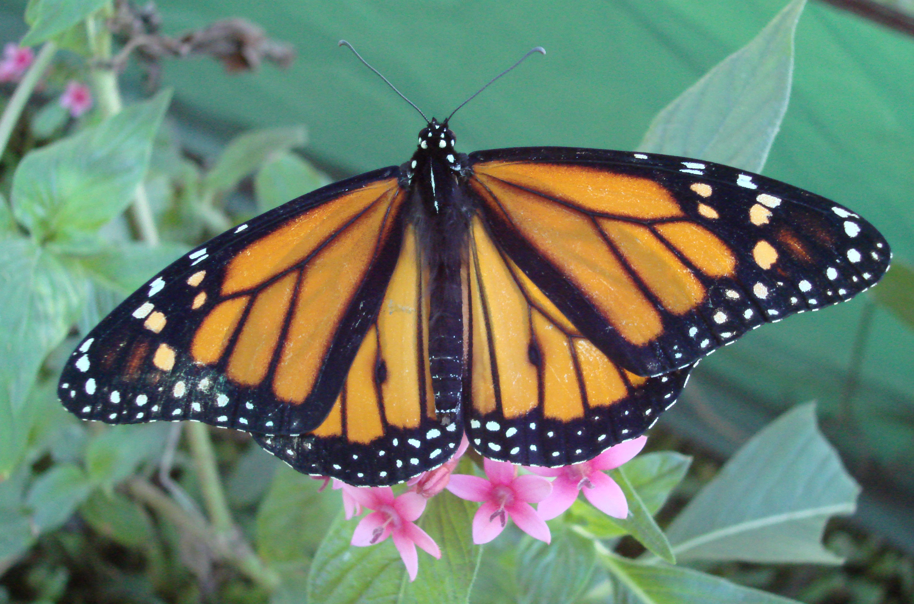 Monarch Butterfly 27 Background Wallpaper   Hivewallpapercom 2919x1929