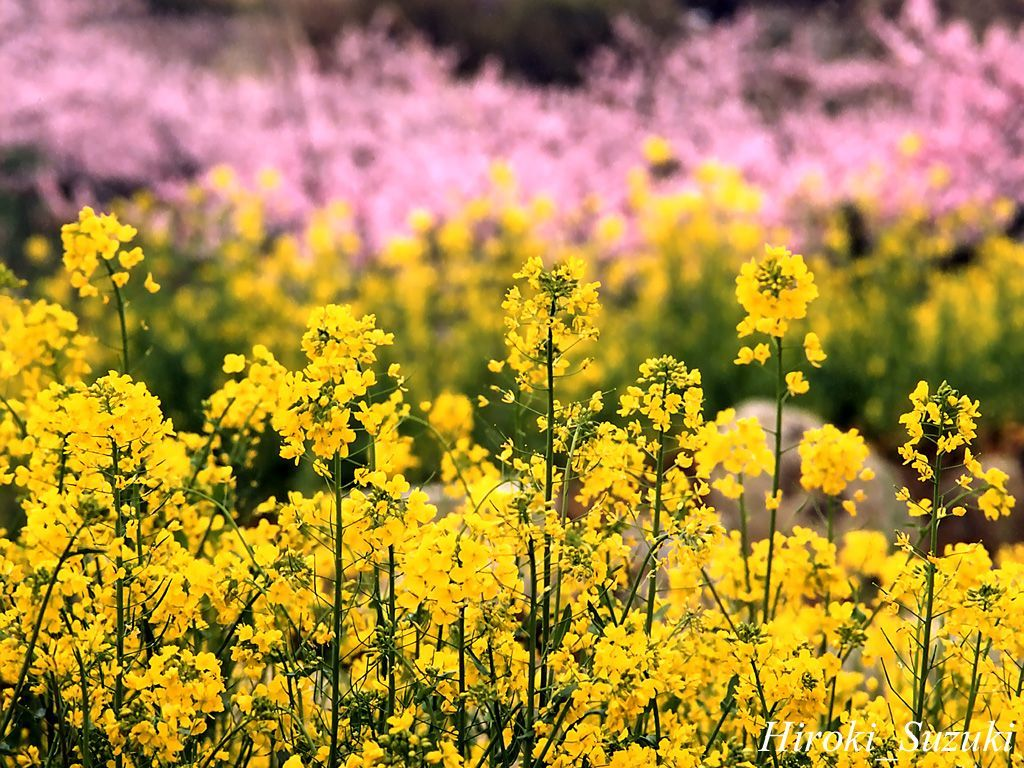 Spring Flower Wallpaper Desktop 1024x768