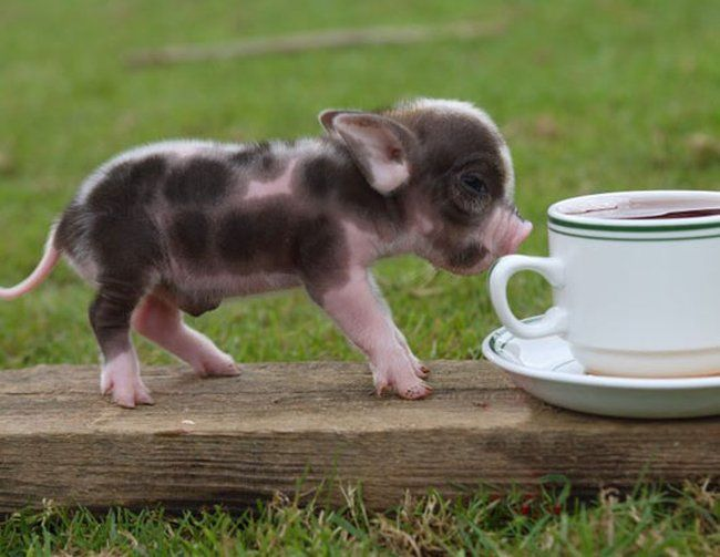 Baby Pig Pictures Animal Pictures Gallery 650x503