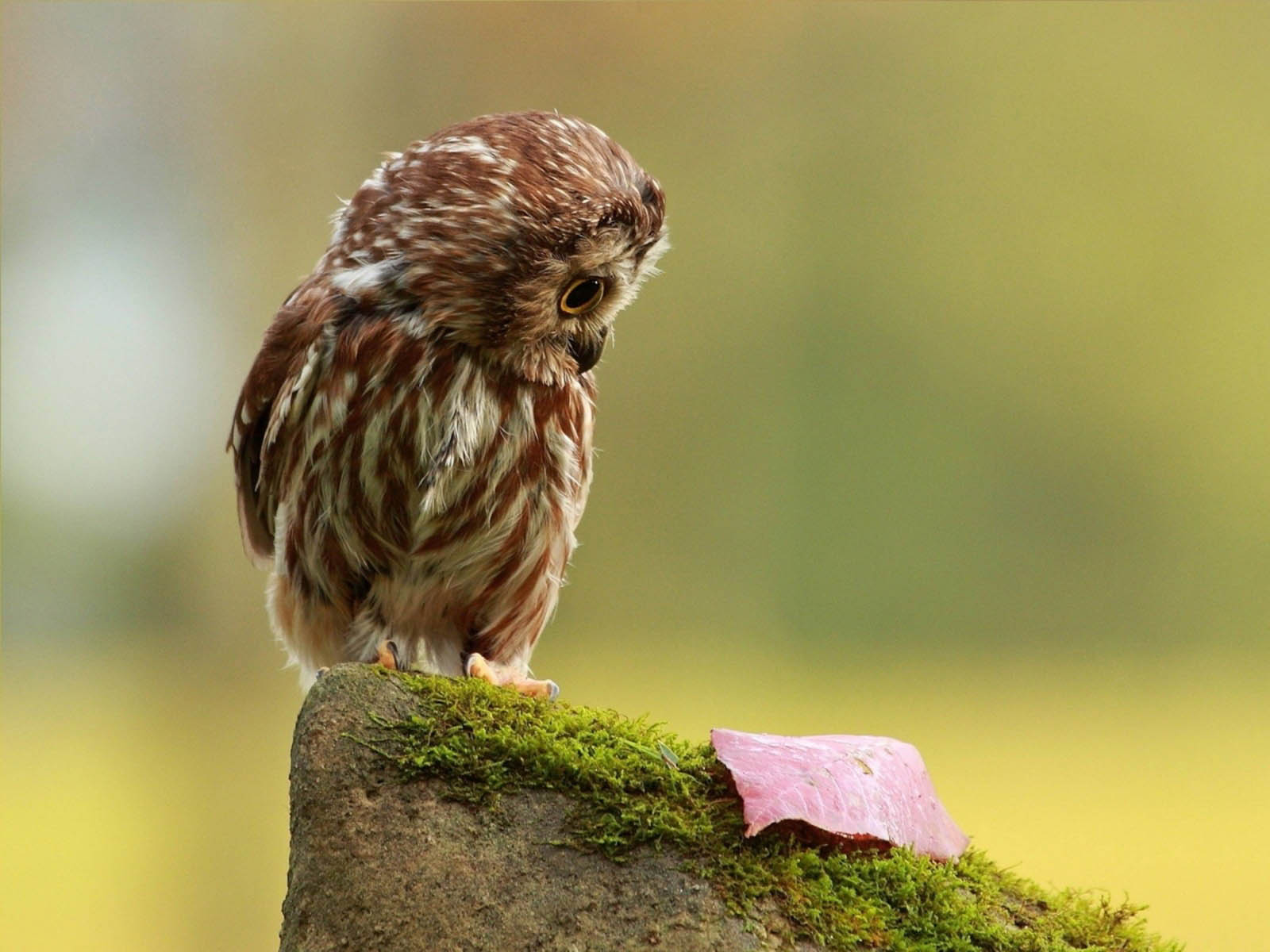 Owl Wallpapers Images Photos Pictures and Backgrounds for 1600x1200