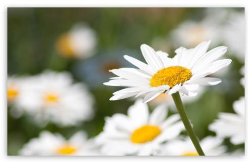 Daisy wallpaper 510x330