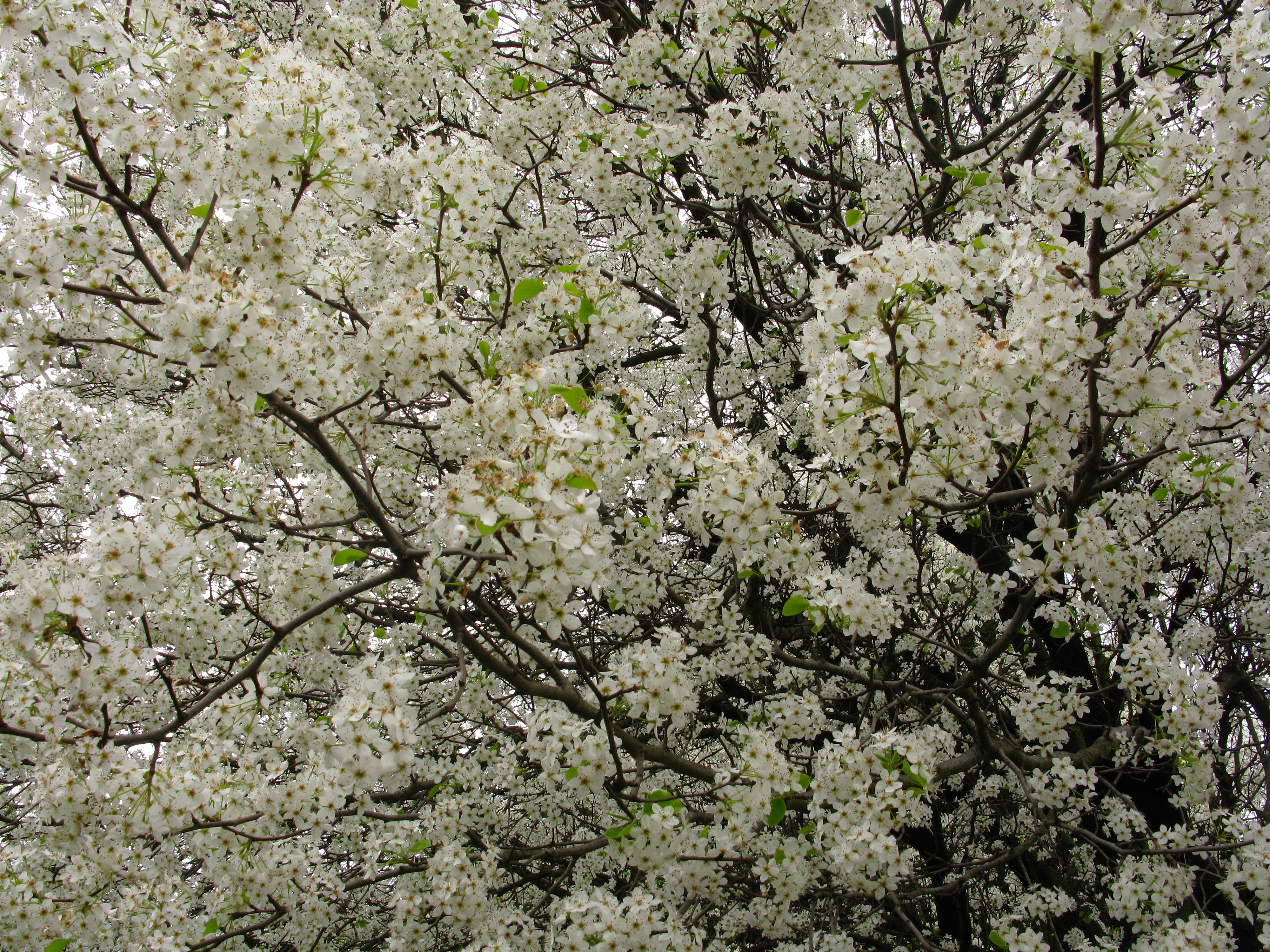 White Flowers Everywhere Blooming Tree Trees Nature 4000x3000