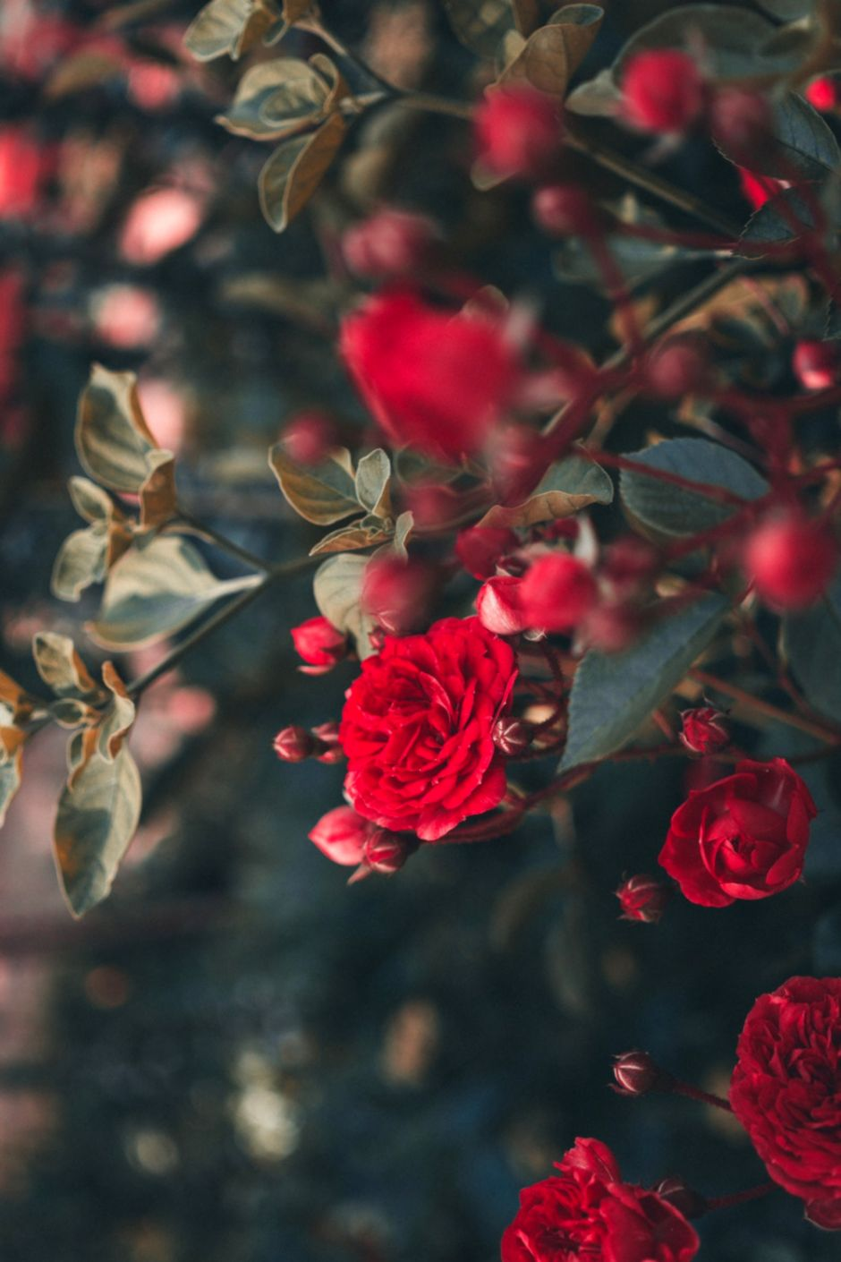 Red Rose Flower Hd Wallpaper Android Wallpapers   Rose Flower 940x1410