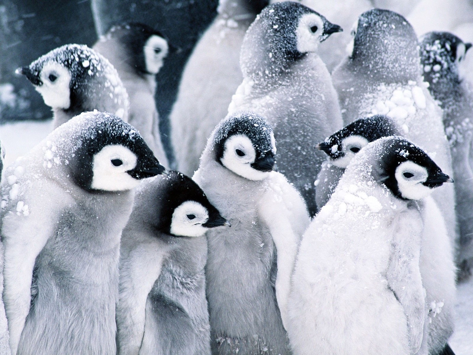 Cute Baby Penguins wallpaper 1600x1200 45966 1600x1200