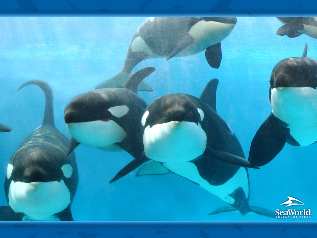 orca whales 1024x768