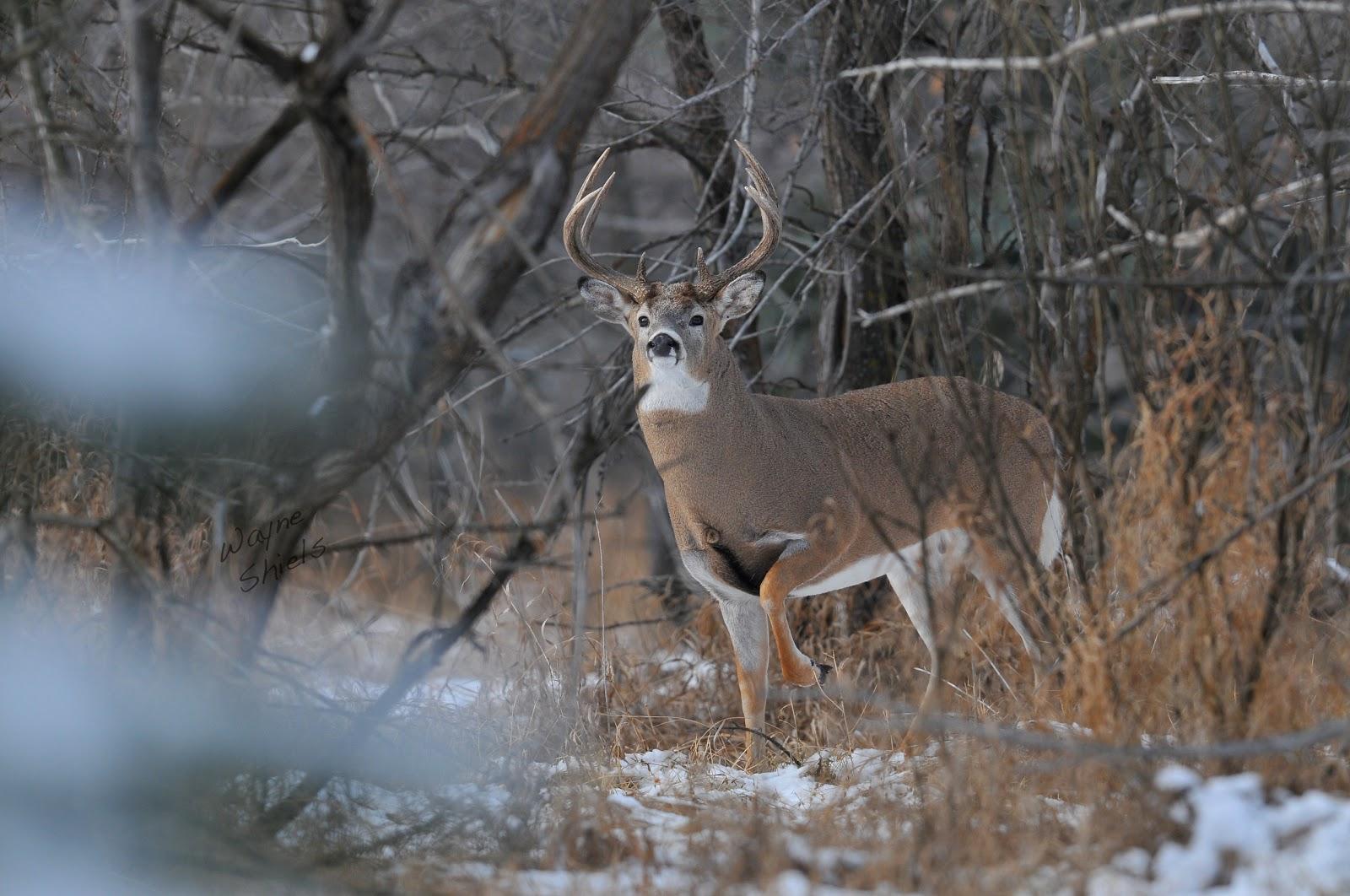 [50+] Big Whitetail Buck Wallpaper on WallpaperSafari |Wide Deer Wildlife