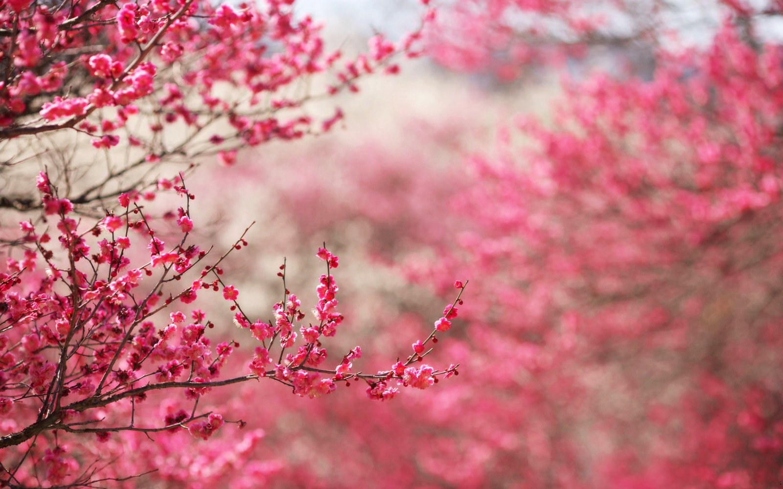 Color of Nature Pink Cherry Blossoms HD Nature Wallpaper Vvallpaper 1600x1000