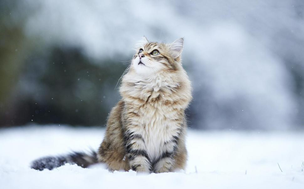 Cats Humor Winter Snow Flakes Desktop Background wallpaper 970x606