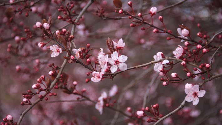 Free Download Cherry Blossom 2015 Hd Wallpapers 4k Wallpapers 710x399 For Your Desktop Mobile Tablet Explore 46 Cherry Blossom Wallpaper For Iphone Japanese Cherry Blossom Wallpapers Japanese Cherry Blossom