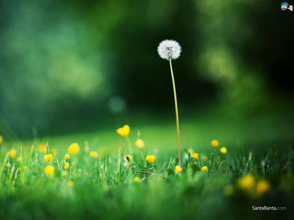 Dandelion Wallpaper 3 1024x768