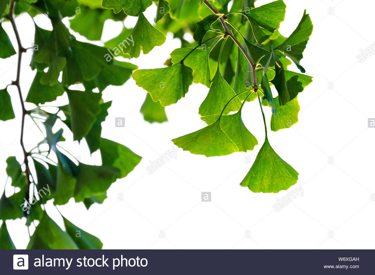 Ginkgo biloba tree with green leaves isolated on white background 1300x956